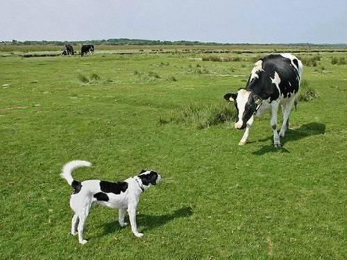 Cuál es la vaca
